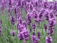 10pcs/bag Lavender Girl Seeds DIY Home Garden