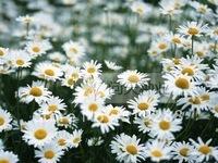 10pcs/bag Roman Chamomile Seeds DIY Home Garden