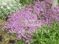 10pcs/bag Thyme Seeds DIY Home Garden
