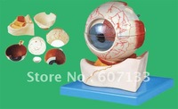 2012 New Type Eyeball Anatomical Model