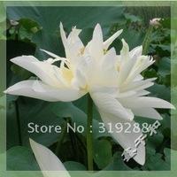 """5pcs/bag white water lily lotus nelumbo Flower """"XiXiangDaiYue"""" Seeds DIY Home Garden"""