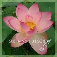 "5pcs/bag pink water lily lotus nelumbo Flower ""TianNvSanHua"" Seeds DIY Home Garden"