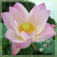 "5pcs/bag pink water lily lotus nelumbo Flower ""YiHongYuan"" Seeds DIY Home Garden"