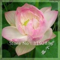 "5pcs/bag pink water lily lotus nelumbo Flower ""MengHuan"" Seeds DIY Home Garden"