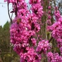 10pcs/bag Bauhinia tree Seeds DIY Home Garden