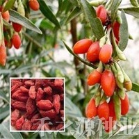 10pcs/bag Chinese wolfberry Seeds DIY Home Garden