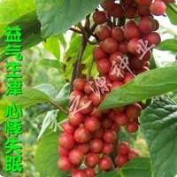 10pcs/bag Schisandra chinensis Seeds DIY Home Garden