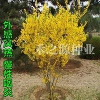 10pcs/bag Forsythia suspensa Seeds DIY Home Garden