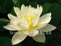 "5pcs/bag pink water lily lotus nelumbo Flower ""SanHaoLian No.12"" Seeds DIY Home Garden"
