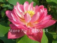 "5pcs/bag red water lily lotus nelumbo Flower ""YanYang No.161"" Seeds DIY Home Garden"