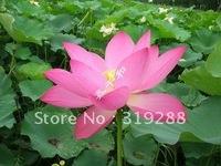 "5pcs/bag pink water lily lotus nelumbo Flower ""HongLingJin"" Seeds DIY Home Garden"