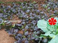 50pcs/bag purple Rape vegetable Seeds DIY Home Garden