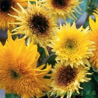 4pcs/bag Sunflower Starburst Lemon Aura Seeds DIY Home Garden