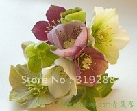 10pcs/bag Helleborus Ice rose flower Seeds mixed colour DIY Home Garden