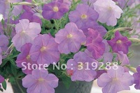 5pcs/bag pink blue Petunia hybrida flowers Seeds DIY Home Garden