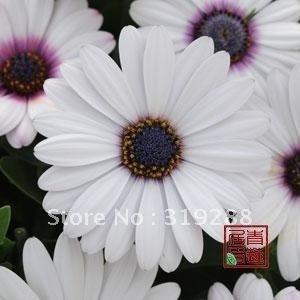 5pcs/bag white Osteospermum flower SeedsDIY Home Garden