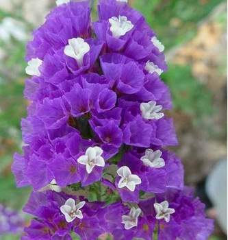 """50pcs/bag""""don't forget me"""" flower seeds DIY home garden free shipping"""