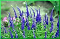 5pcs/bag blue Chloris flowers Seeds DIY Home Garden