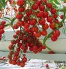 50pcs/bag hot selling cherry tomato seeds for DIY home garden