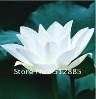 "Teach you plant the Lotus, ""baihe"" Lotus seeds, DIY Home Garden."
