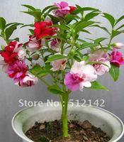 Free Shipping Garden Balsam Seeds. DIY Home Garden