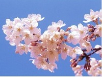 Free Shipping 100 pcs per bag of Cherry/Sakura Seeds,Colour cherry blossom flower seeds
