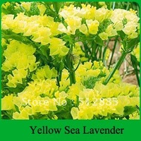 "Yellow Sea Lavender seeds, this flower have a meaning ""don't forget me"" .Free Shipping,  DIY Home Garden."