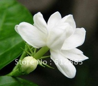 DIY Beautiful Jasmine,  30 pieces Jasmine flower seeds free shipping.