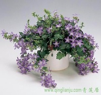 10pcs/bag purple Hanging bellflower flower Seeds DIY Home Garden