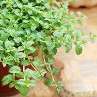 25pcs/bag Oregano Seeds DIY Home Garden