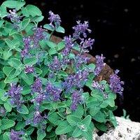 5pcs/bag purple flower Catnip Seeds DIY Home Garden