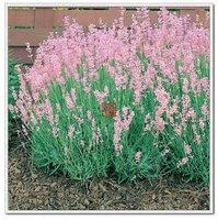 5pcs/bag pink Lavender Rosea Seeds DIY Home Garden