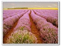 10pcs/bag pink Lavender English Seeds DIY Home Garden