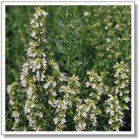 10pcs/bag Hyssopus officinalis Seeds DIY Home Garden