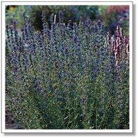10pcs/bag blue Hyssopus officinalis Seeds DIY Home Garden