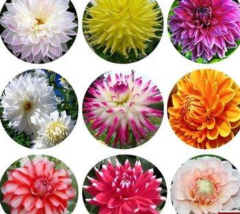 free shipping 30pcs/bag dahlias flower seeds for DIY home garden
