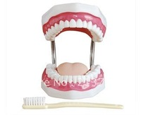 medical science model new style Dental Care Model (28 Teeth) teeth model