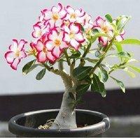"""5pcs/bag white adenium flower """"JinTaiYang"""" seeds DIY Home Garden"""