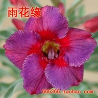 "5pcs/bag purple adenium flower ""WanHuaTong"" seeds DIY Home Garden"