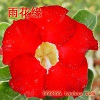 "5pcs/bag red adenium flower ""TaiWanHong"" seeds DIY Home Garden"