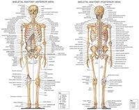 "02 Skeletal System Anatomical Chart 18""x14"" Poster"