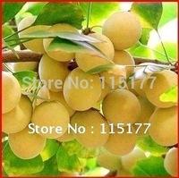 GINKGO BILOBA TREE SEEDS MAIDENHAIR TREE 50 SEEDS   Free Shipping