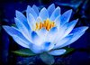 FREE SHIPPING 20 SEED Blue Fairy Lotus Flower Seeds Gorgeous Aquatic Plants Label: Lotus12