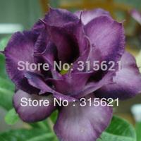 Purple Desert Rose Adenium obesum  Flower Seeds  20 PCS Free Shipping