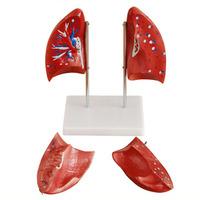 Reproductive organs MODELS FOR surginal doctor training Natural big model model