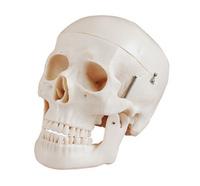 Medical training manikin Natural big model senior model D skull skeleton