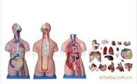 DOCTOR TRAINING 85cm model 20 model human model MEDICAL MANIKIN