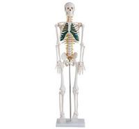 Reproductive organs MODELS FOR surginal doctor training 85cm humans spine skeleton model
