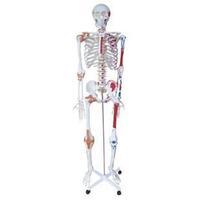 TRAINING MANIKIN 170cm large half-length model FOR Nursing doctor