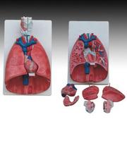 TRAINING MANIKIN Natural big model model FOR Nursing doctor